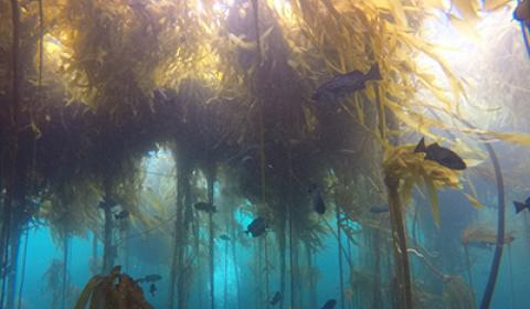 Underwater image of a bull kelp forest