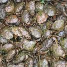 A mass of European green crabs